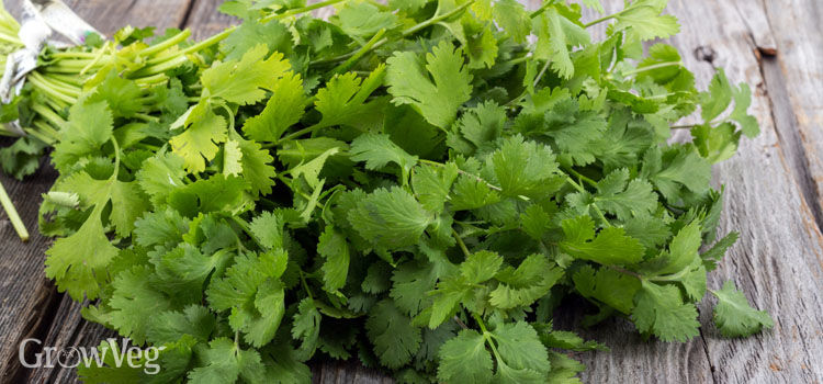 https://res.cloudinary.com/growinginteractive/image/upload/q_80/v1502360108/growblog/coriander-bunch-2x.jpg