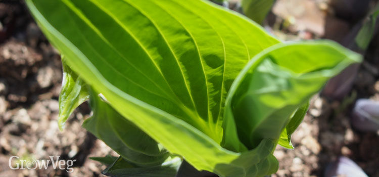 https://res.cloudinary.com/growinginteractive/image/upload/q_80/v1502378578/growblog/hosta-shoots-unfurling-2x.jpg
