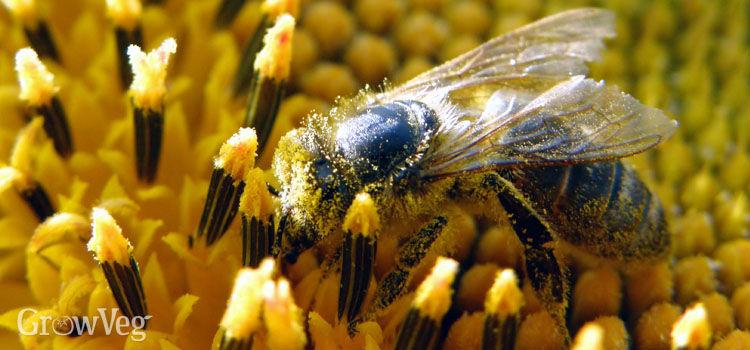 """""""Honeybee"""
