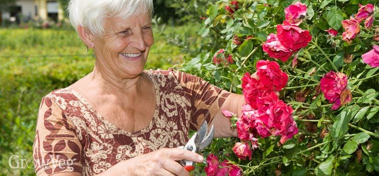 Older lady deadheading roses in her garden
