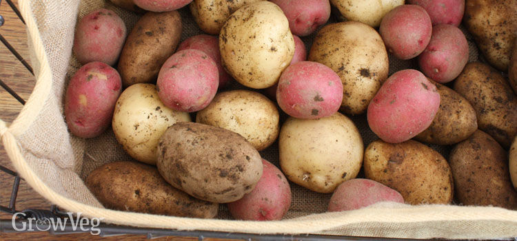 Potatoes stored in a burlap bag & How to Cure and Store Potatoes