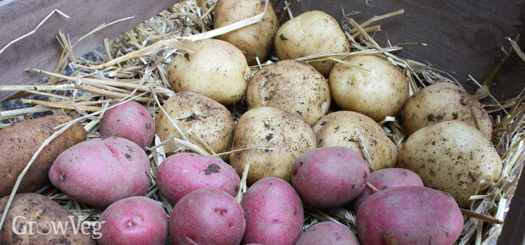 Storing potatoes in a crate lined with straw & Tried and Tested Tips for Storing Potatoes Successfully
