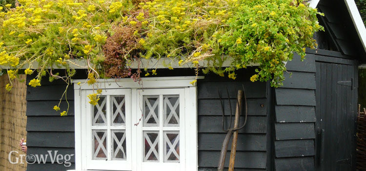 Green roof on a garden shed