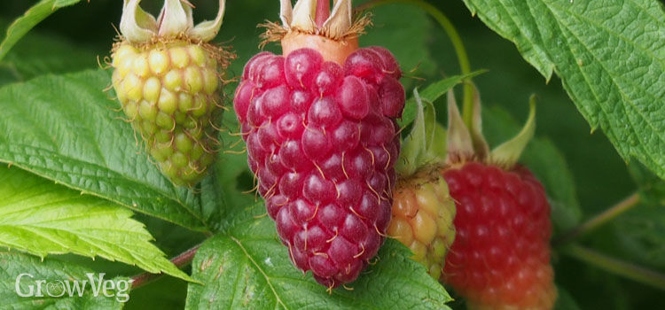Raspberries ripening