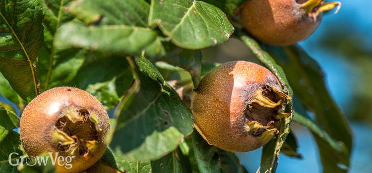 https://res.cloudinary.com/growinginteractive/image/upload/q_80/v1507043923/growblog/medlar-fruits-2x.jpg