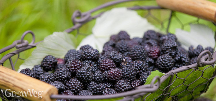 https://res.cloudinary.com/growinginteractive/image/upload/q_80/v1507734910/growblog/blackberries-in-basket-2x.jpg