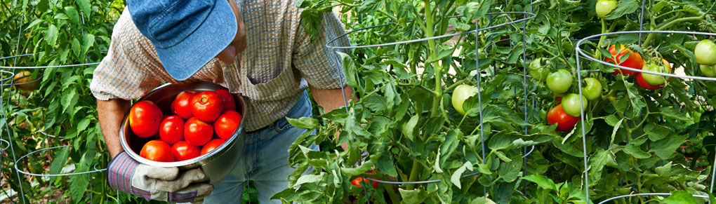 Tomato Cages: How to Make Supports for Healthier Tomato Plants