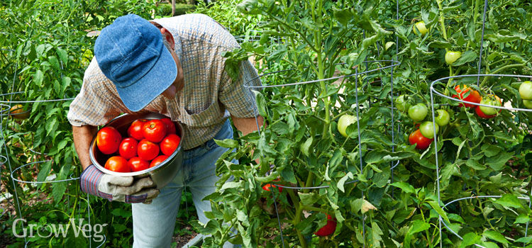 Man picking tomatoes that are well-supported by tomato cages