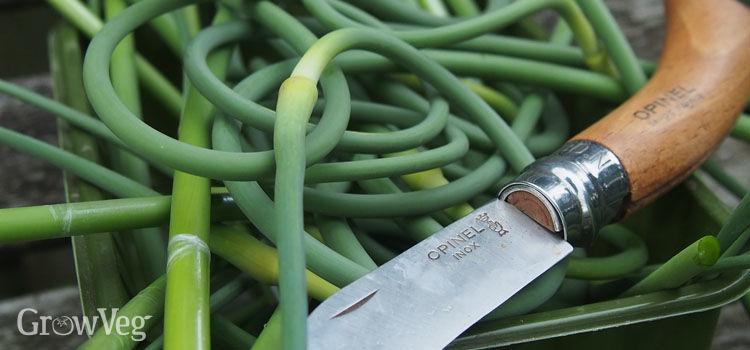 """Garlic"