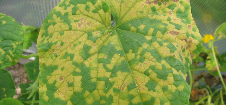 Angular yellow markings are tell-tale signs of the start of downy mildew on cucumber family plants