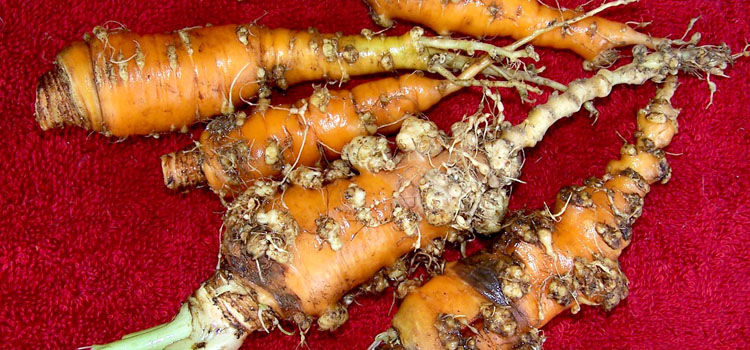 Root knot nematodes on carrot roots