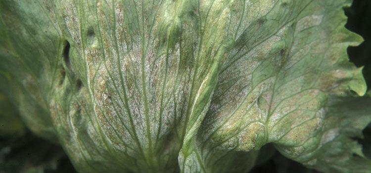 Downy mildew on lettuce