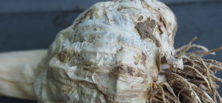 White rot on stored garlic