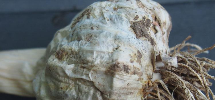 White rot on stored garlic