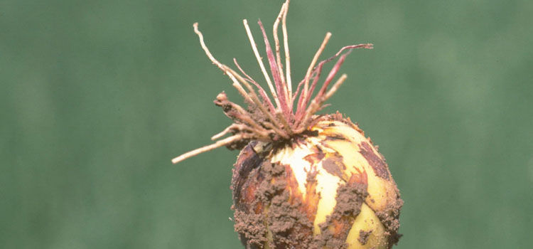 Pink root on onion