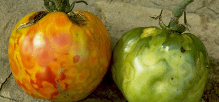 Tomato Spotted Wilt Virus