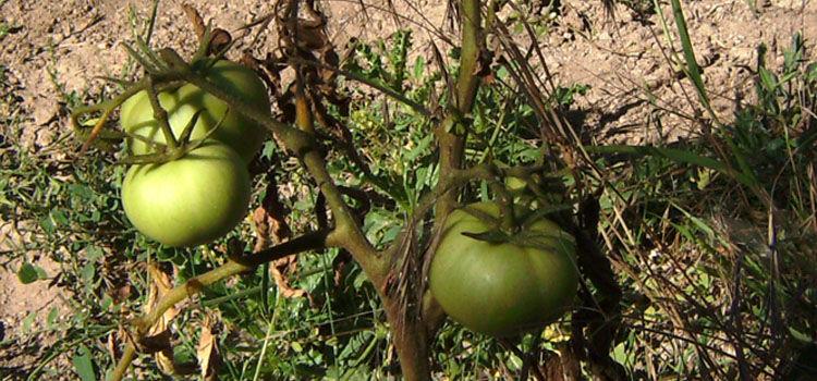 Fusarium wilt on tomato plant