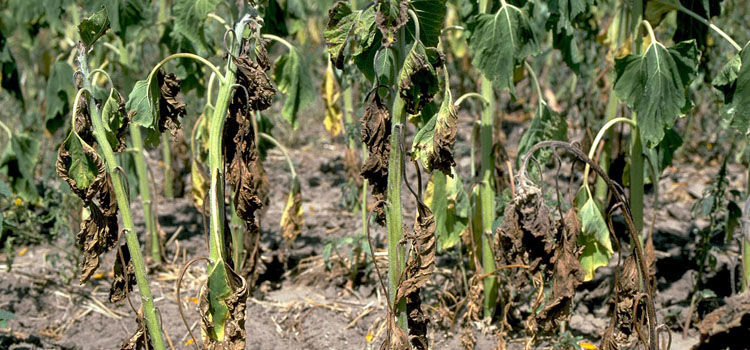 Sunflowers with verticillium wilt