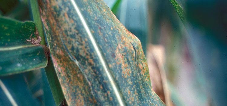 Corn rust