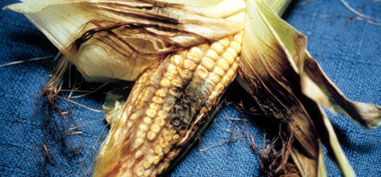 Northern corn leaf blight damage to corn cob