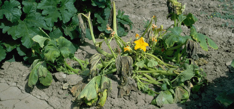 Bacterial wilt on pumpkin
