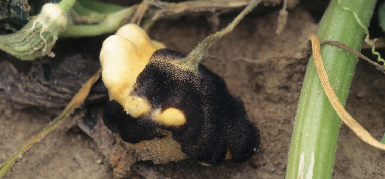 Blossom blight on squash