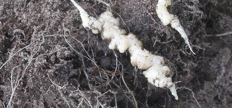Club root on cauliflower