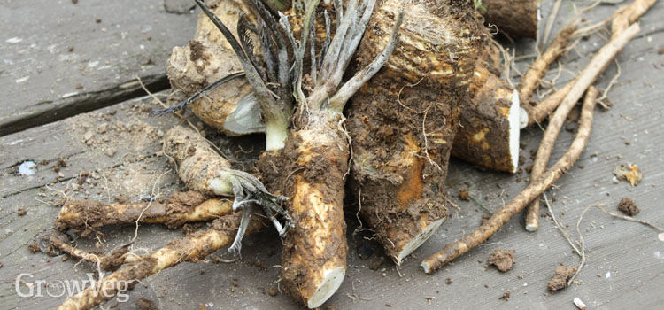 https://res.cloudinary.com/growinginteractive/image/upload/q_80/v1513891064/growblog/harvested-horseradish-2x.jpg