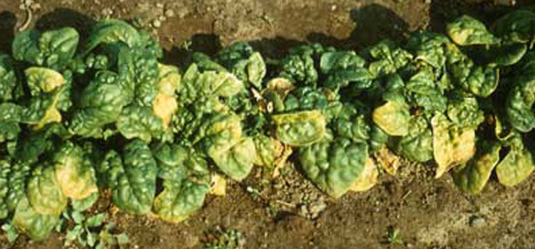 Spinach blight