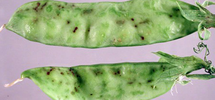 Pea enation virus