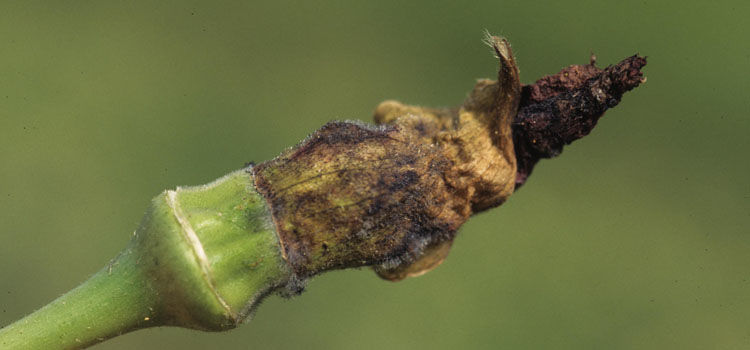Blossom blight on okra