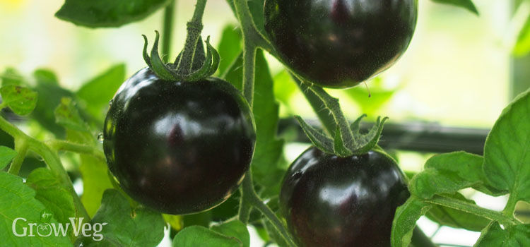 https://res.cloudinary.com/growinginteractive/image/upload/q_80/v1515514766/growblog/tomatoes-indigo-rose-2-2x.jpg