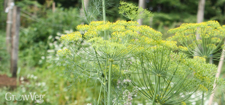 https://res.cloudinary.com/growinginteractive/image/upload/q_80/v1516295018/growblog/fennel-flowers.jpg