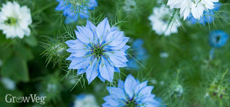 https://res.cloudinary.com/growinginteractive/image/upload/q_80/v1517495611/growblog/nigella-2x.jpg