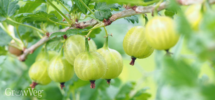 """Gooseberries"""