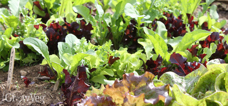 A mesclun mix of assorted young salad leaves