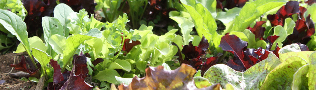 Expert Tips for Growing Extra-Early Salad Crops
