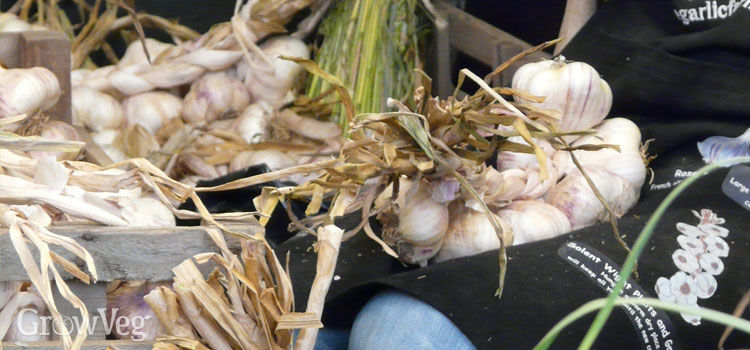https://res.cloudinary.com/growinginteractive/image/upload/q_80/v1520528247/growblog/large-garlic-cloves-2x.jpg