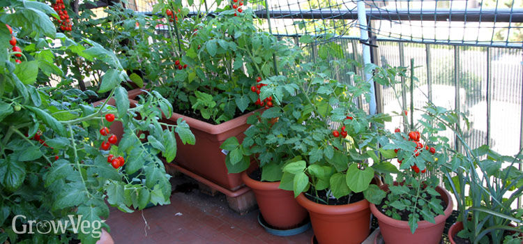 Tomatoes growing in containers in an edible balcony garden