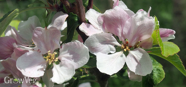 https://res.cloudinary.com/growinginteractive/image/upload/q_80/v1524150866/growblog/apple-blossom-2.jpg