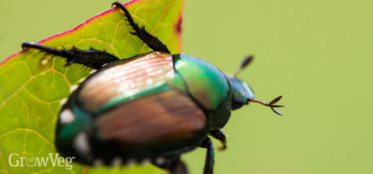 https://res.cloudinary.com/growinginteractive/image/upload/q_80/v1525966836/growblog/japanese-beetle-2x.jpg
