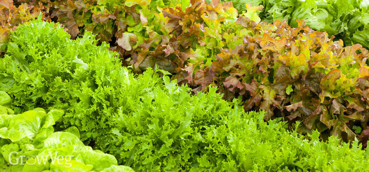 https://res.cloudinary.com/growinginteractive/image/upload/q_80/v1526554299/growblog/lettuce-varieties-2.jpg