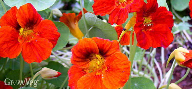 https://res.cloudinary.com/growinginteractive/image/upload/q_80/v1527194075/growblog/orange-nasturtium-flowers-2x.jpg