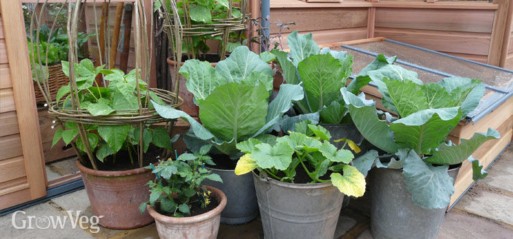 Feeding vegetables grown in containers on a patio