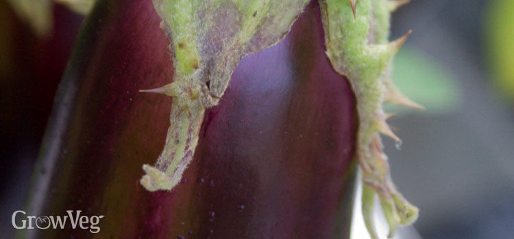 Closeup of an aubergine fruit