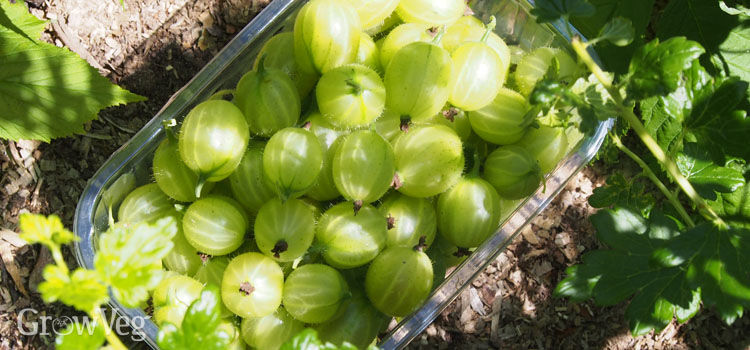 Harvesting gooseberries