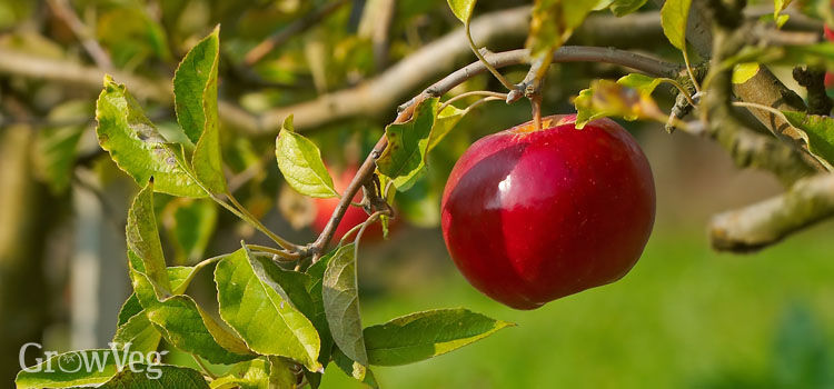 Thinned fruit on apple tree