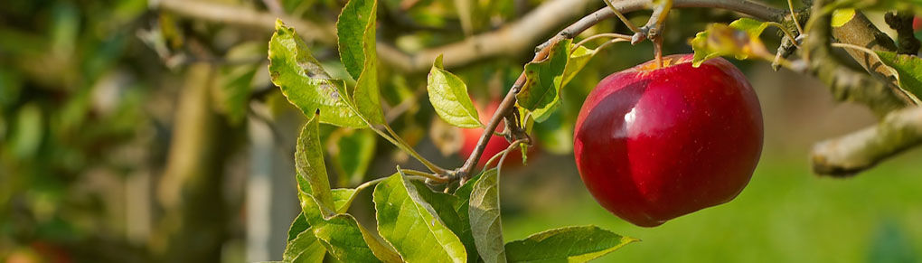 Growing Fruit: Why Thinning Creates a Better Harvest