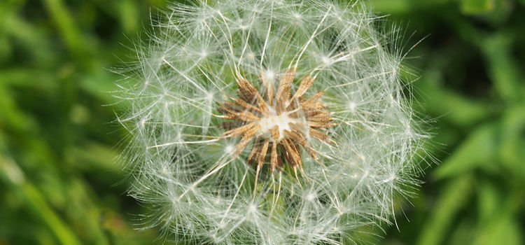 Dandelion ready to distribute its seeds