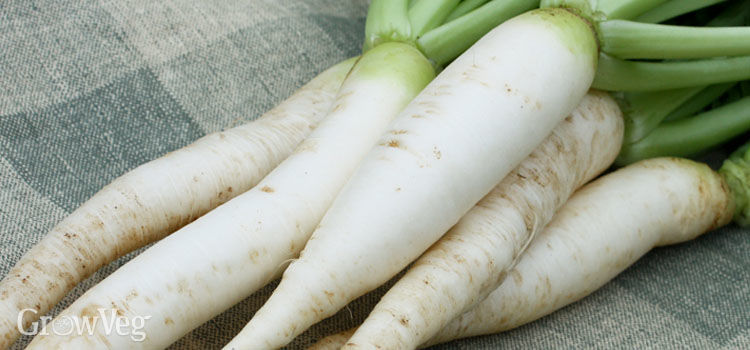 https://res.cloudinary.com/growinginteractive/image/upload/q_80/v1533225445/growblog/daikon-radishes-2-2x.jpg
